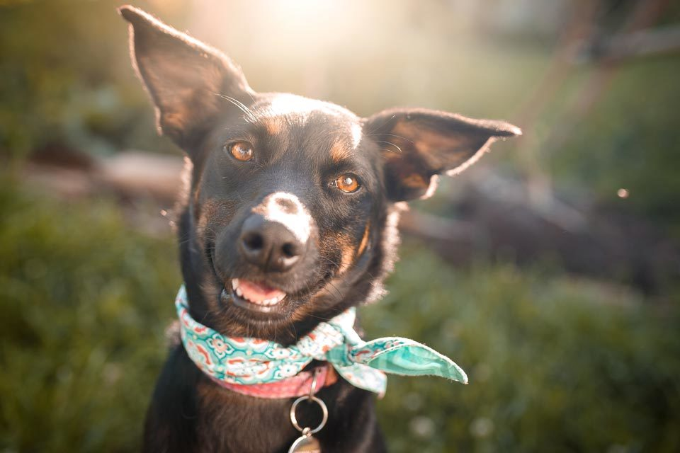 happy black lab mix with a bandana in the sunshine