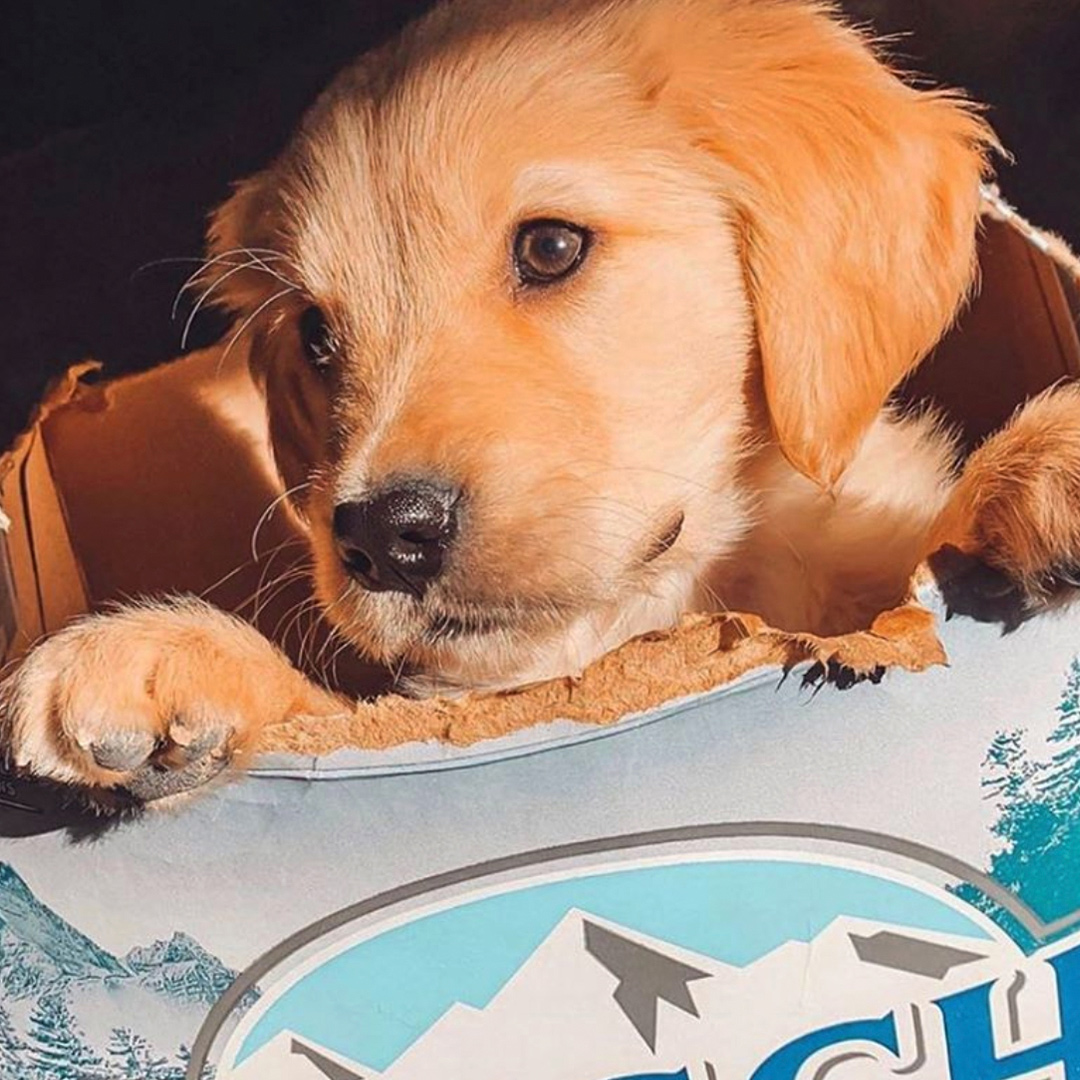 Puppy playing in cardboard beer carton